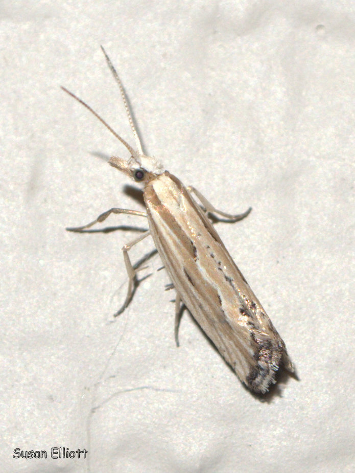 Image of Grey-streaked Smudge