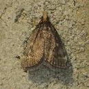 Image of <i>Loxostegopsis merrickalis</i>
