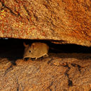 Image of Eastern Elephant-shrew