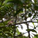 Image of Chestnut-capped Puffbird