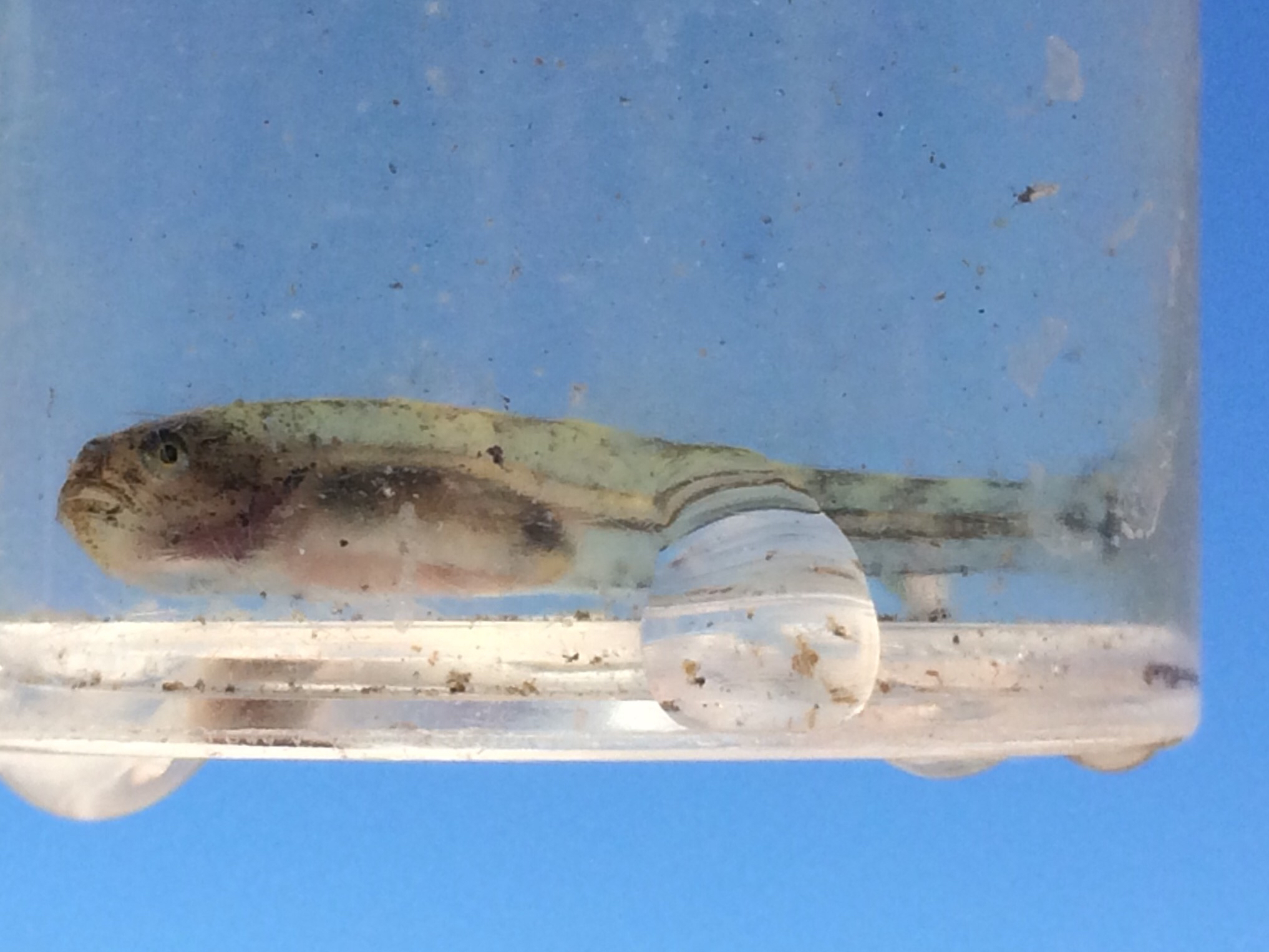 Image of Tidewater Goby