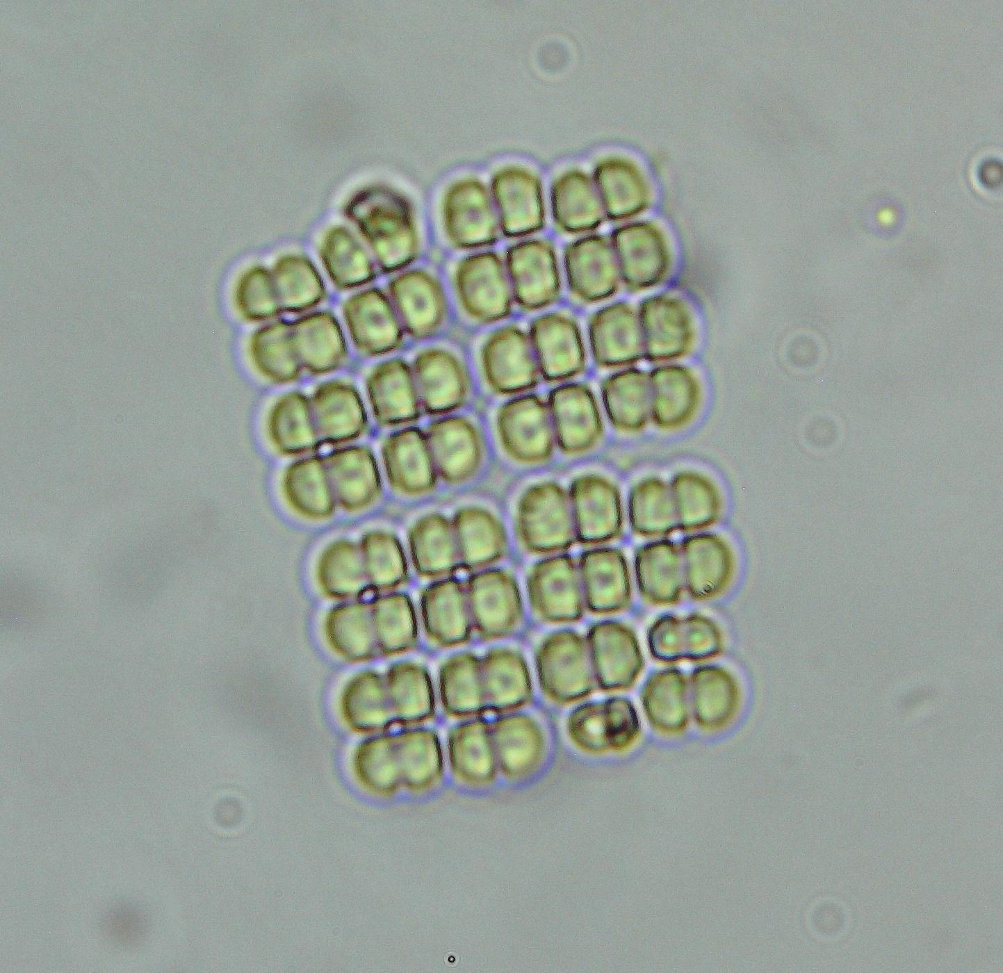 Image of <i>Merismopedia elegans</i>
