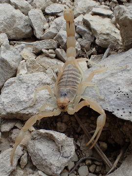 Image of Common yellow scorpion