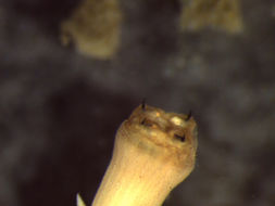 Image of <i>Glycera nana</i> Johnson 1901