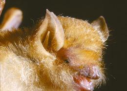 Image of Damara Woolly Bat -- Damara Woolly Bat
