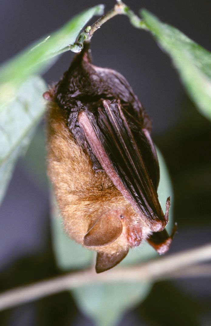 Image of Spurrell's Woolly Bat