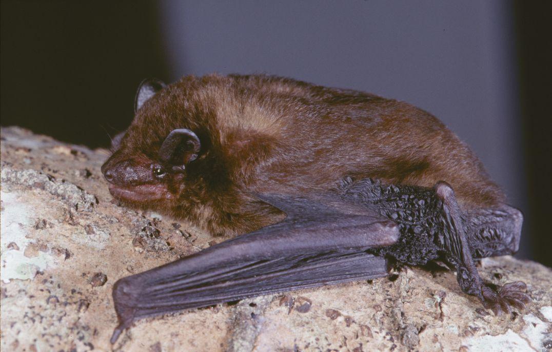 Image of <i>Pipistrellus</i> (<i>Afropipistrellus</i>) <i>grandidieri</i> (Dobson 1876)