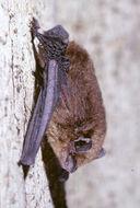 Image of <i>Pipistrellus brunneus</i>