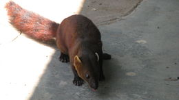 Image of Malagasy Ring-tailed Mongoose