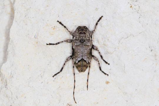 Image of <i>Sternidius mimeticus</i> (Casey 1891)