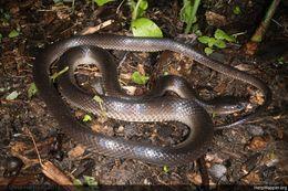 Image of Slatey-grey Snake