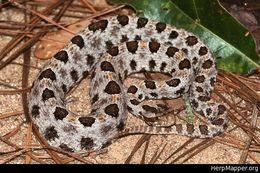 Image of Carolina Pigmy Rattlesnake