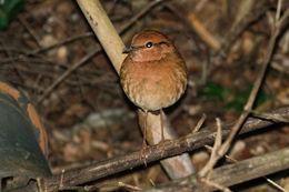 Image of Rusty-naped Pitta