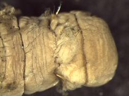 Image of <i>Metasychis disparidentatus</i>