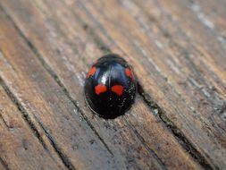 Image of <i>Exochomus quadripustulatus</i>