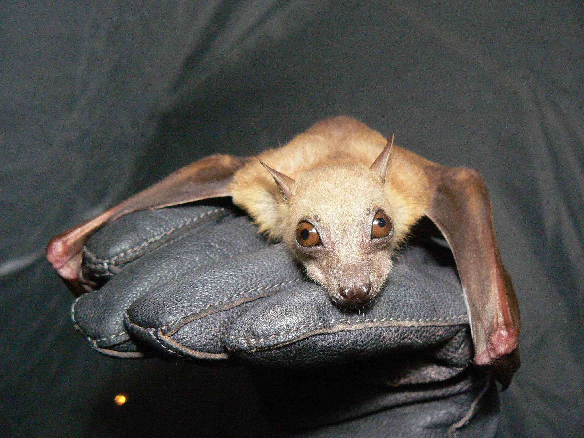 Image of Little Collared Fruit Bat