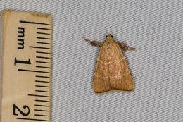 Image of Parachma Moth