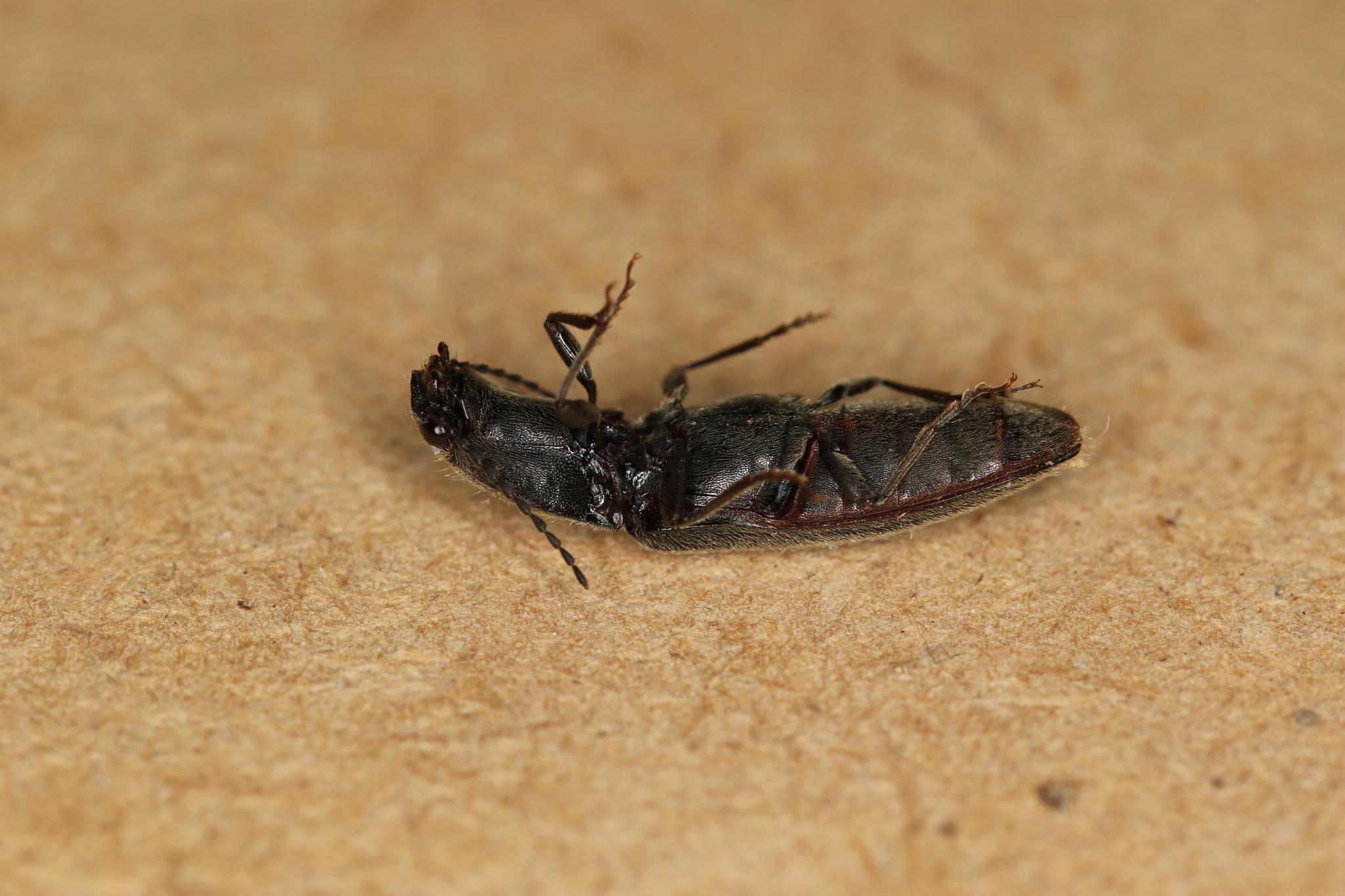 Image of <i>Athous haemorrhoidalis</i>