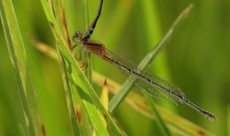 Image of Red and Blue Damsel