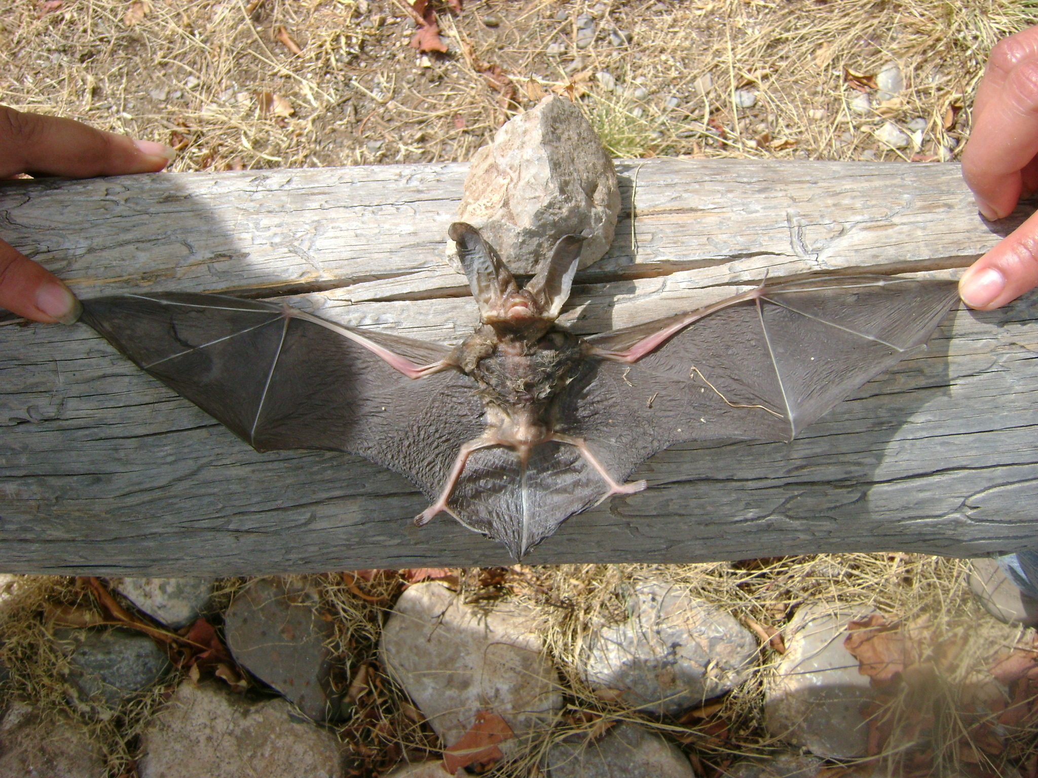 Image of Townsend's Big-eared Bat