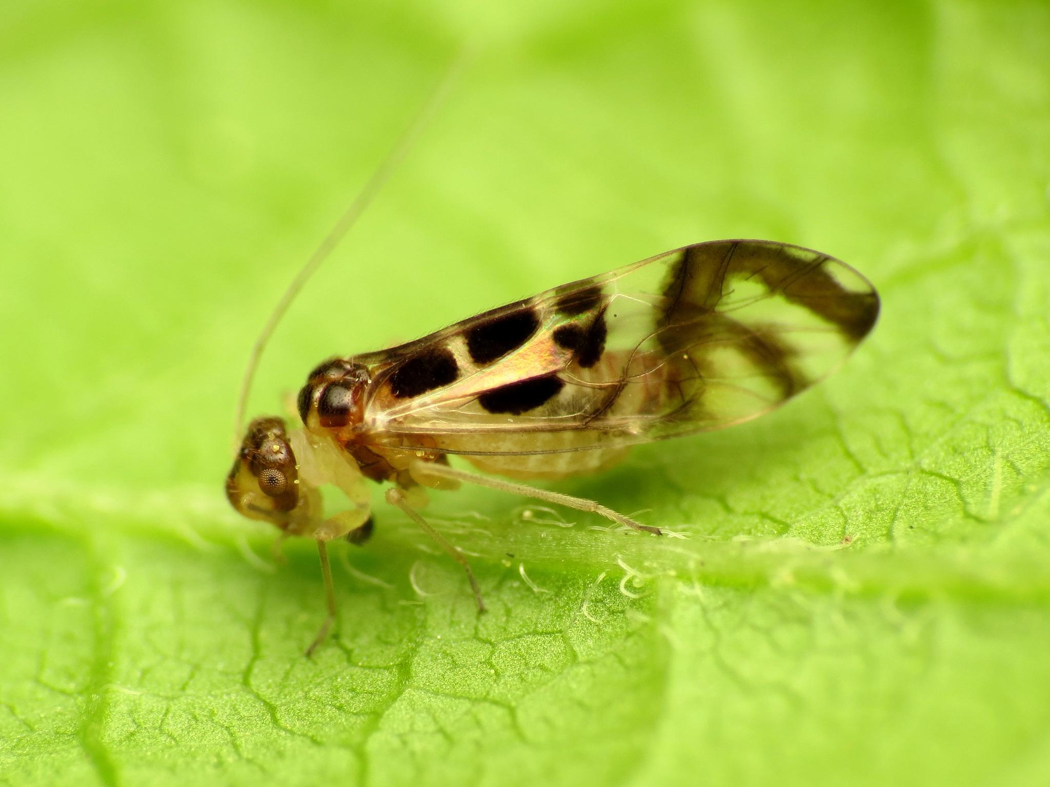 Image of <i>Graphopsocus cruciatus</i> (Linnaeus 1768)