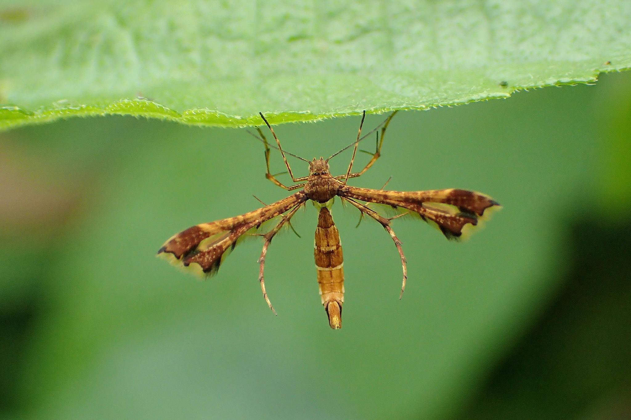 Image of <i>Xyroptila oenophanes</i> Meyrick 1908