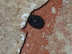 Image of <i>Germarostes globosus</i> (Say 1835)