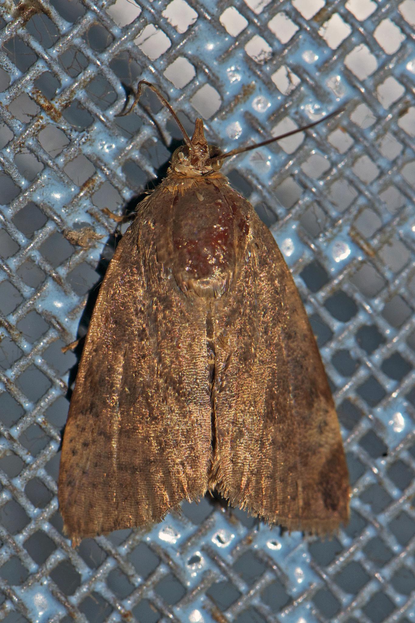 Image of <i>Hyblaea puera</i> Cramer 1777