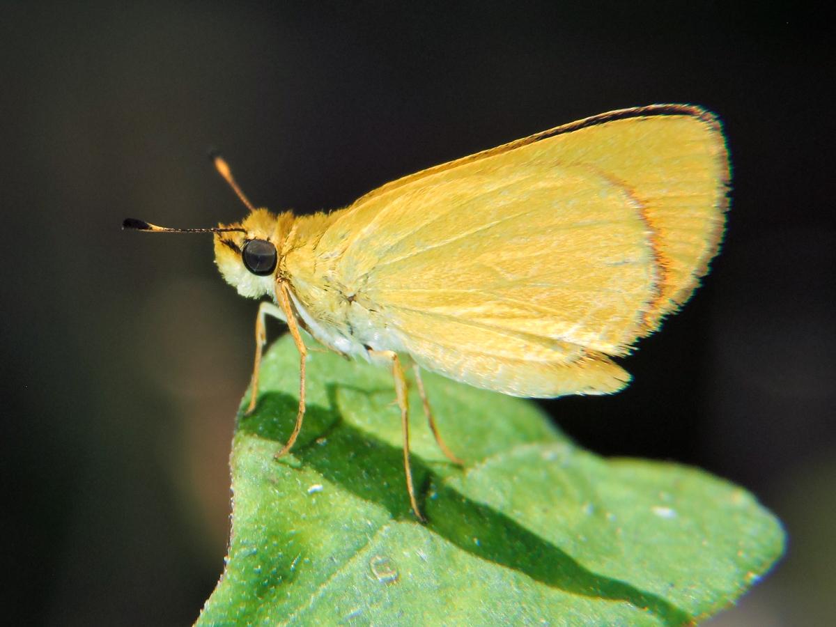 Image of <i>Zariaspes mythecus</i> Godman 1900