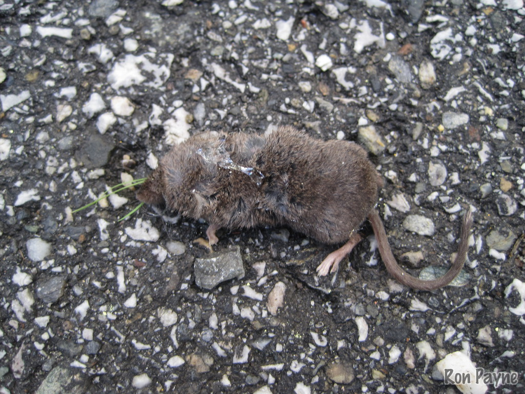Image of Long-tailed Shrew