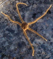 Image of brooding snake star
