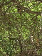 Image of Russet-throated Puffbird