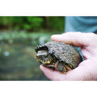 Image of Stripe-necked Musk Turtle