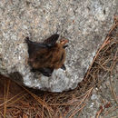 Image of Eastern Small-footed Myotis