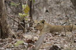 Image of Asiatic Lion