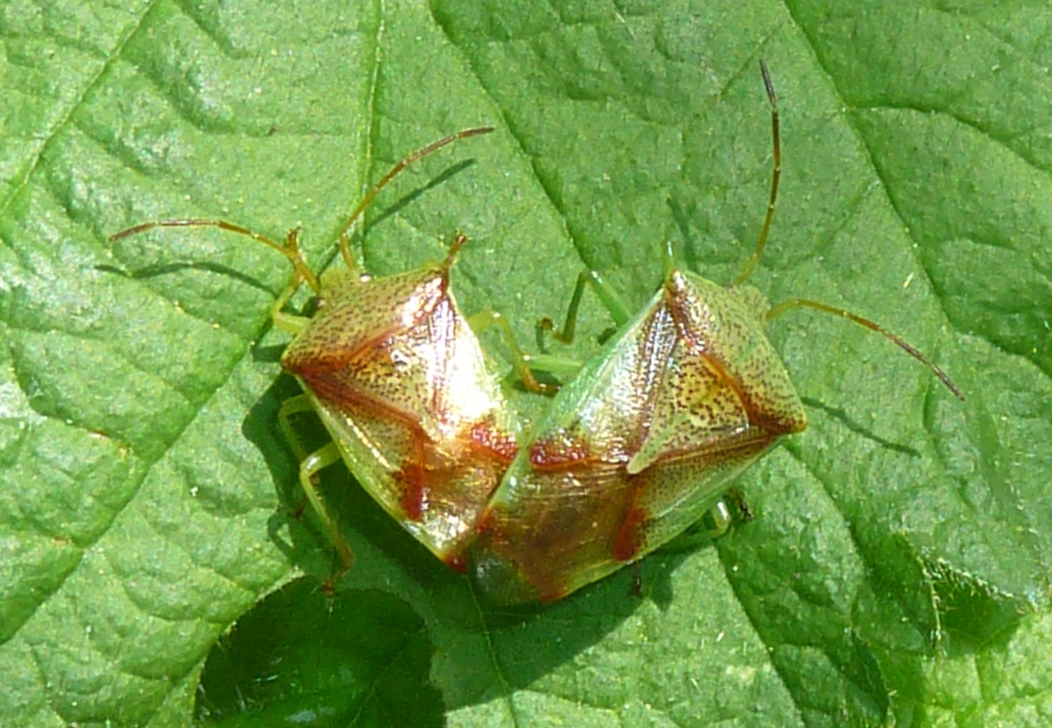 Image of Red-Cross Shield Bug
