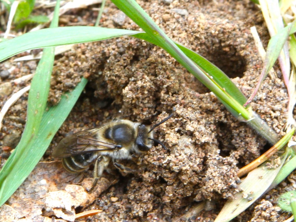 Image of Unequal Cellophane Bee