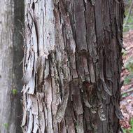 Image of <i>Ostrya virginiana</i>