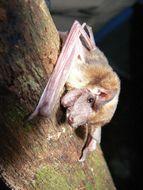 Image of Bini Winged-mouse Bat