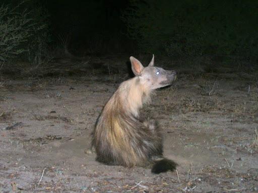 Image of <i>Parahyaena brunnea</i>