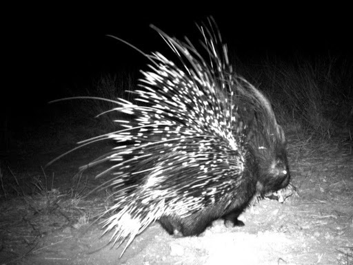 Image of African Porcupine