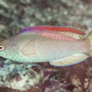 Image of Red-margined wrasse
