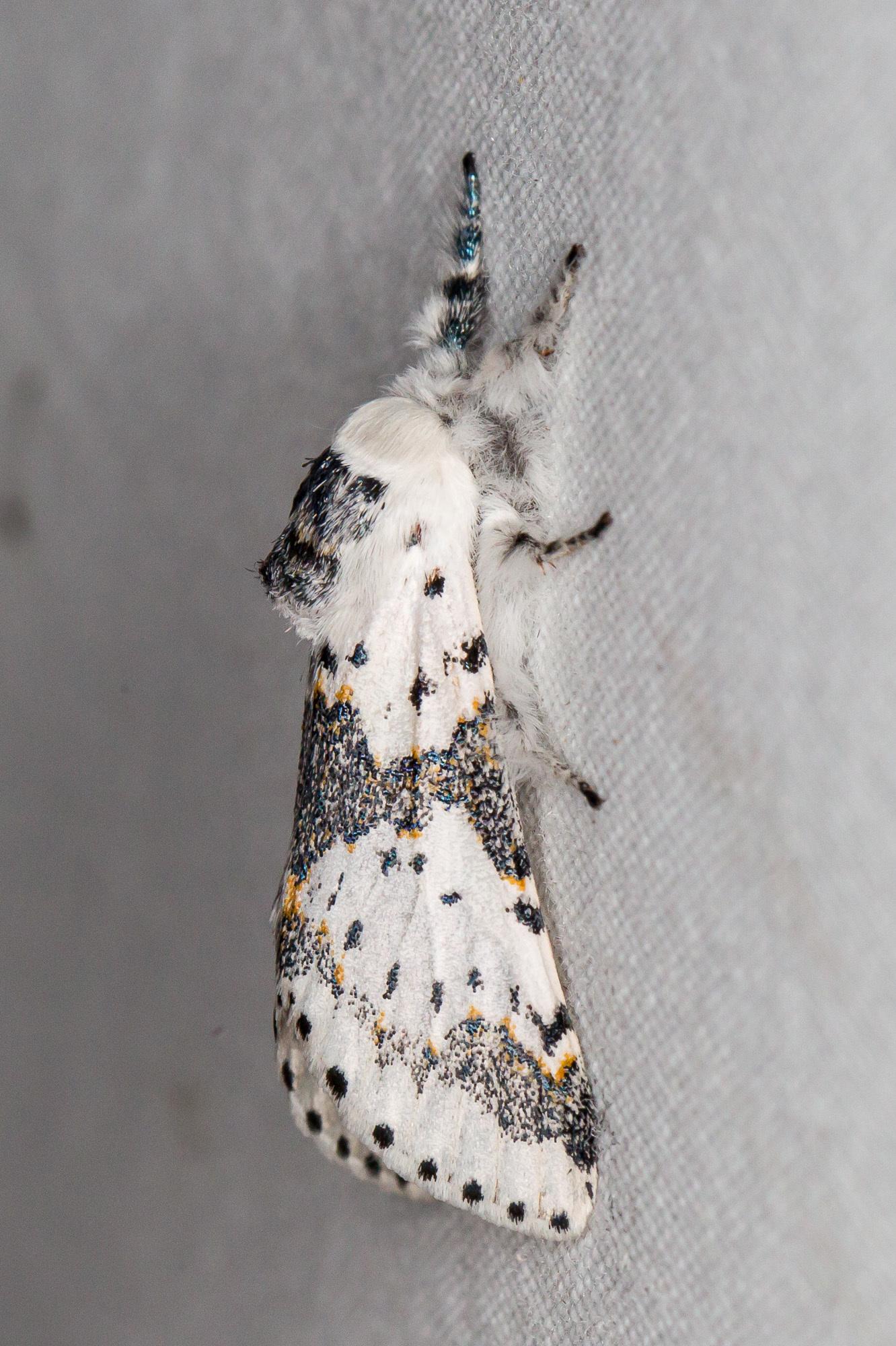 Image of White Furcula