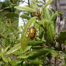 Image of <i>Lachnaia italica</i>