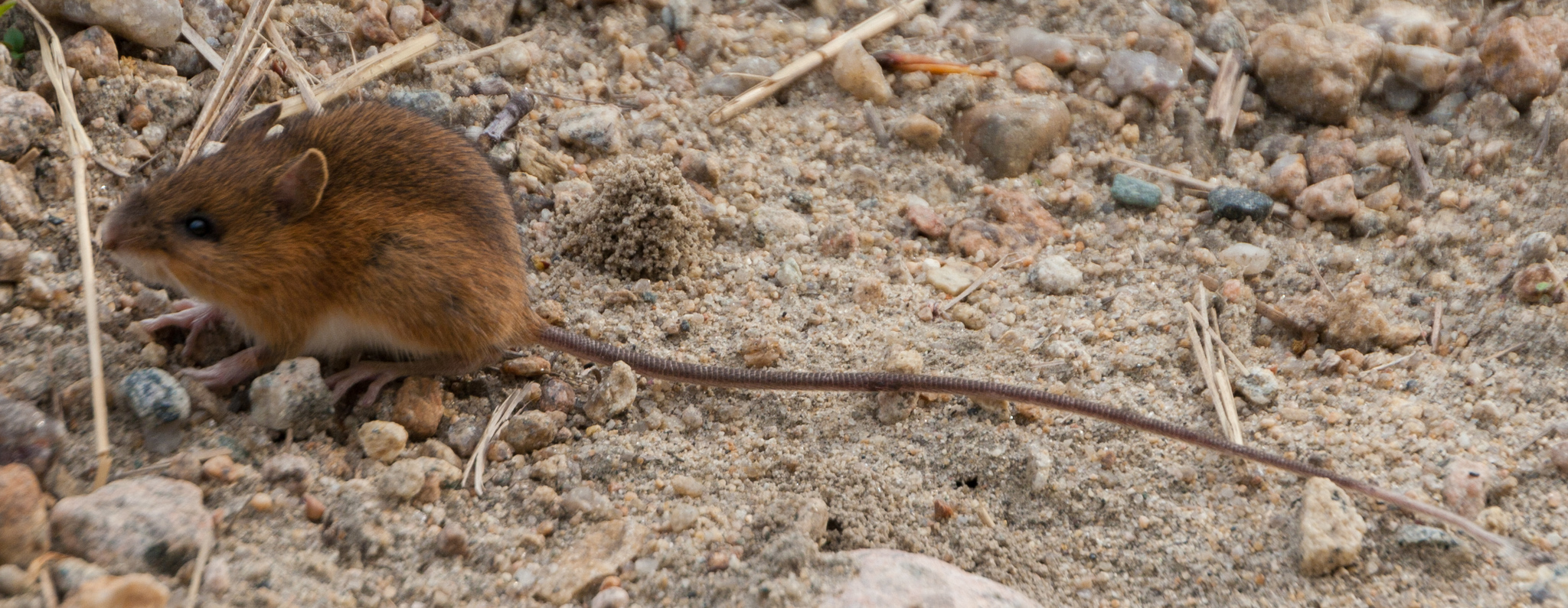 Image of Woodland Jumping Mouse