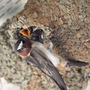 Image of American cliff swallow