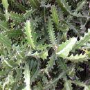 Image of <i>Euphorbia lactea</i>