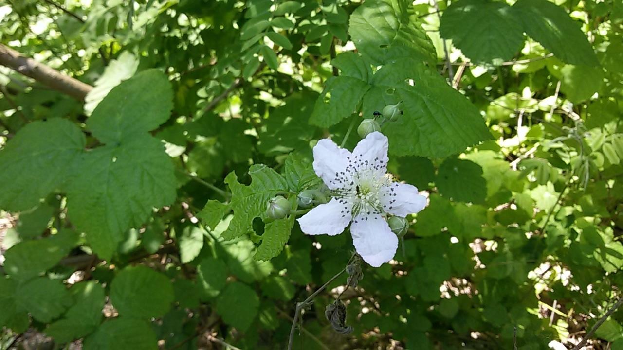 Image of <i>Rubus ulmifolius</i>