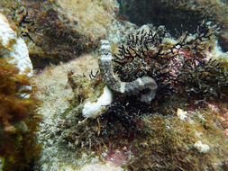 Image of West African Seahorse