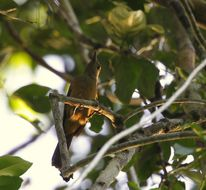 Image of Northern Variable Pitohui